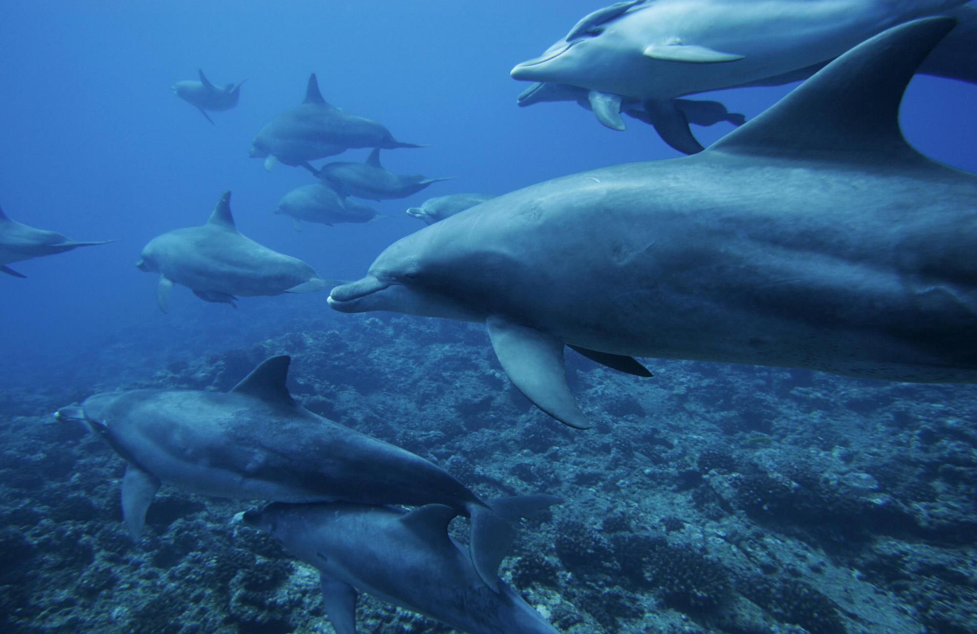 .::Delfín nariz de Botella::. Manada-delfines