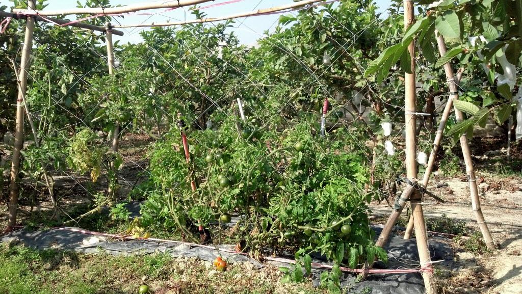 Organic Tomato有機番茄