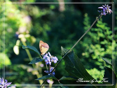另外一只蝴蝶